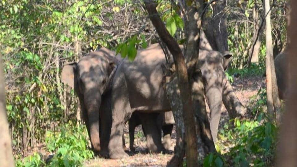 Elephant herd at Palamu Tiger Reserve