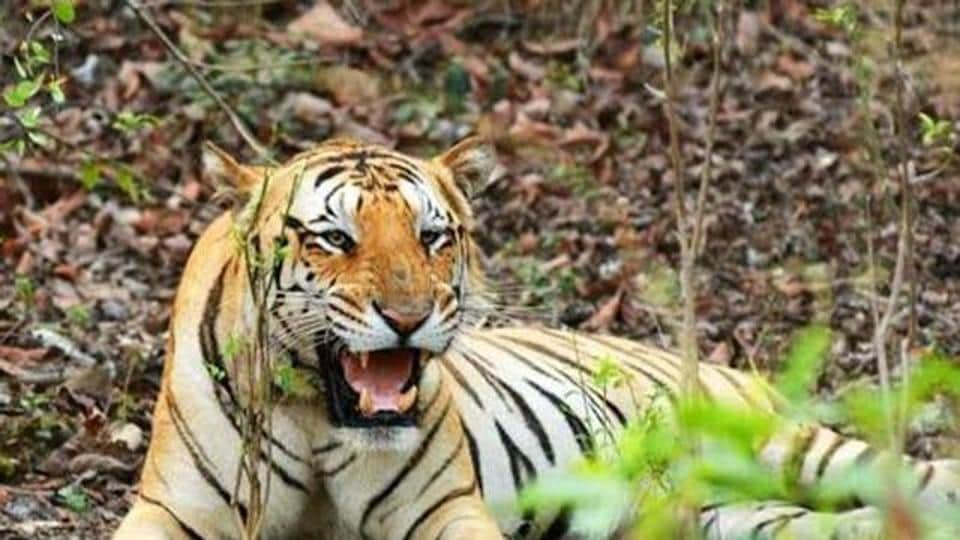Last year, four people were killed by tigers in man-animal conflict situations