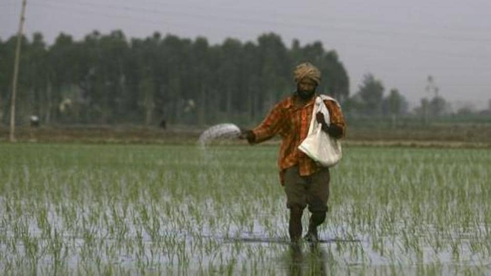 A farmer sprinkles fertilizers on a rice crop on the outskirts of Amritsar. Employment generation has been its lowest in 2015 in the past 25 years, and so did the number of landless farmers increase.