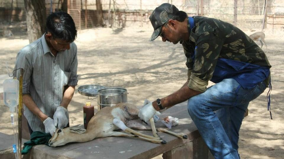 A chinkara being treated at a rescue centre.