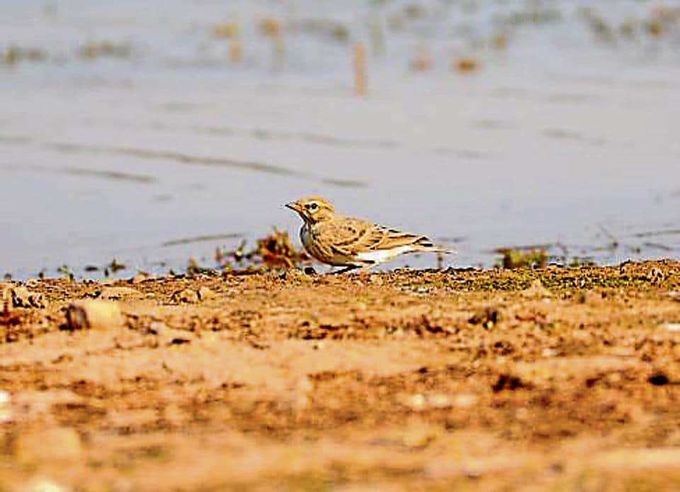 The Hume's short-toed lark at Sukhna lake.