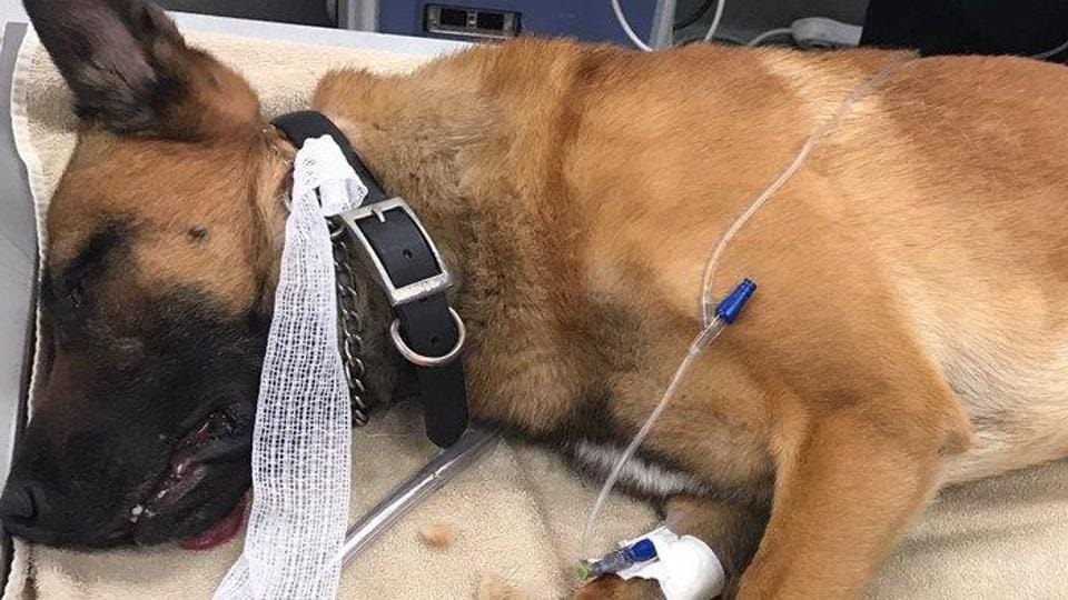 A polcie dog K9 Kasper took a bullet that was meant for his partner.