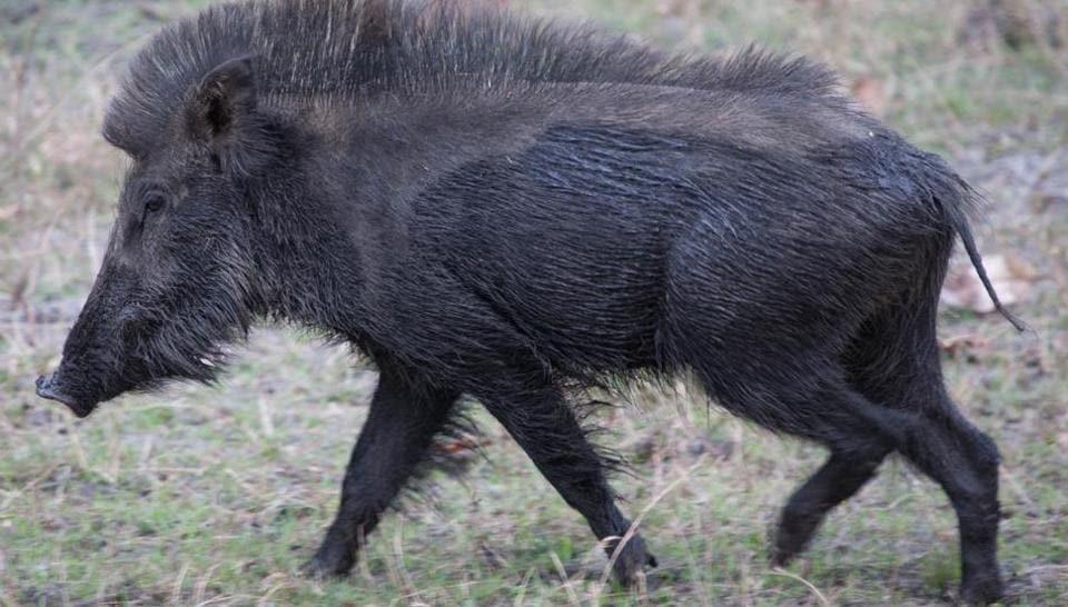 Wild boars damage over 200 sq km of farmland annually, causing an average revenue loss of Rs 1 crore.