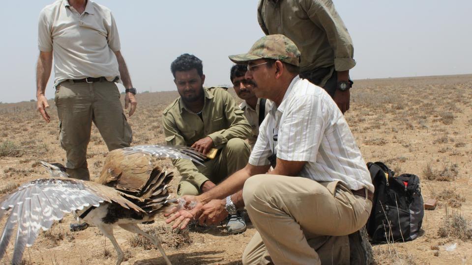 Endangered bustards,Radio tags,Great Indian Bustards