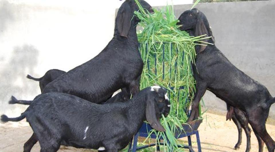 Goats wait for bail,Illegal slaughterhouse,Meat seller