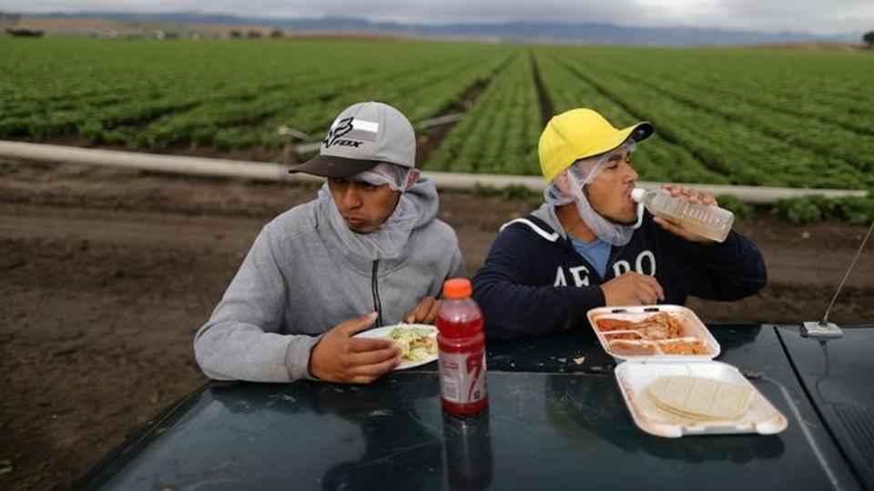 Mexican migrant farmworkers eat during a break while harvesting romaine lettuce in California.  (Lucy Nicholson /REUTERS)