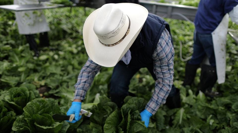 While use of the H-2A program has steadily increased over the past decade, it still accounts for only about 10 percent of  farmworkers in the United States, according to government data. In 2016, the government granted 134,000 H-2A visas.  (Lucy Nicholson /REUTERS)