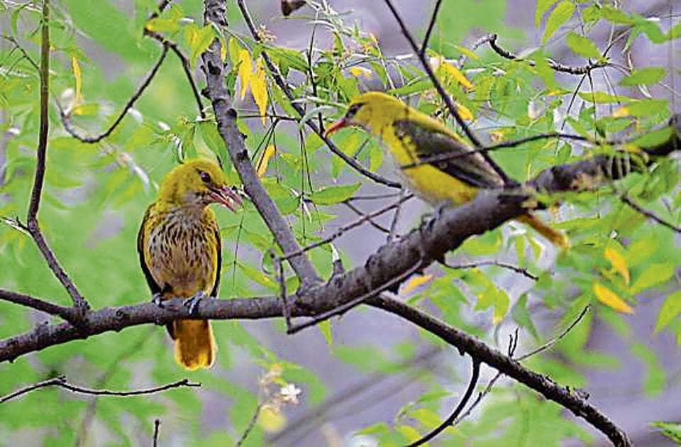 The Indian Golden Oriole was among the 201 species of birds spotted during the second 'Delhi Summer Bird Count. A total of 15 teams from Delhi-NCR took part in the event.