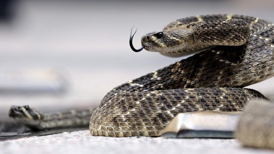 Rattlesnake,Snake bite,US