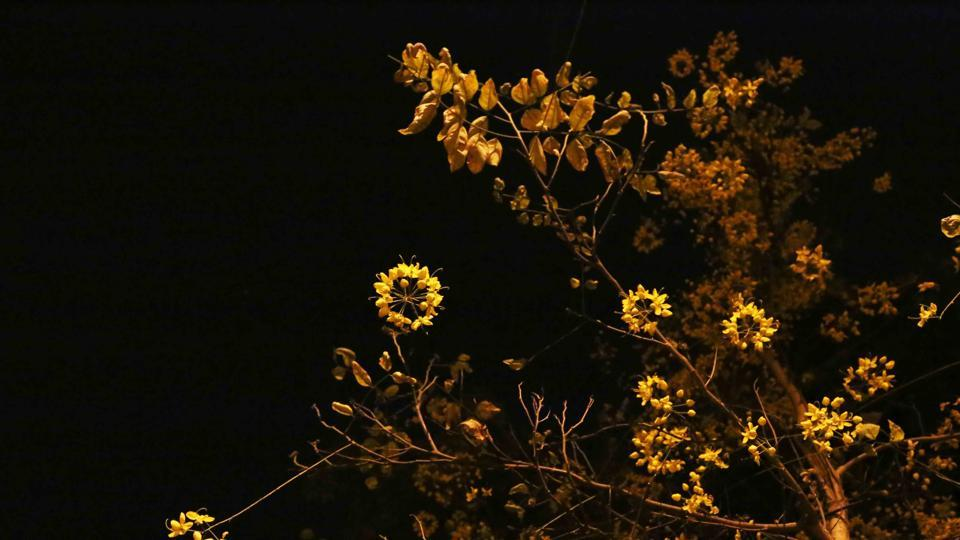 This summer, take a tour of the blooming Amaltas trees at night.