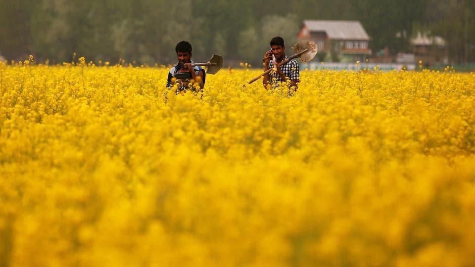 GM crops,GM mustard,Bt brinjal