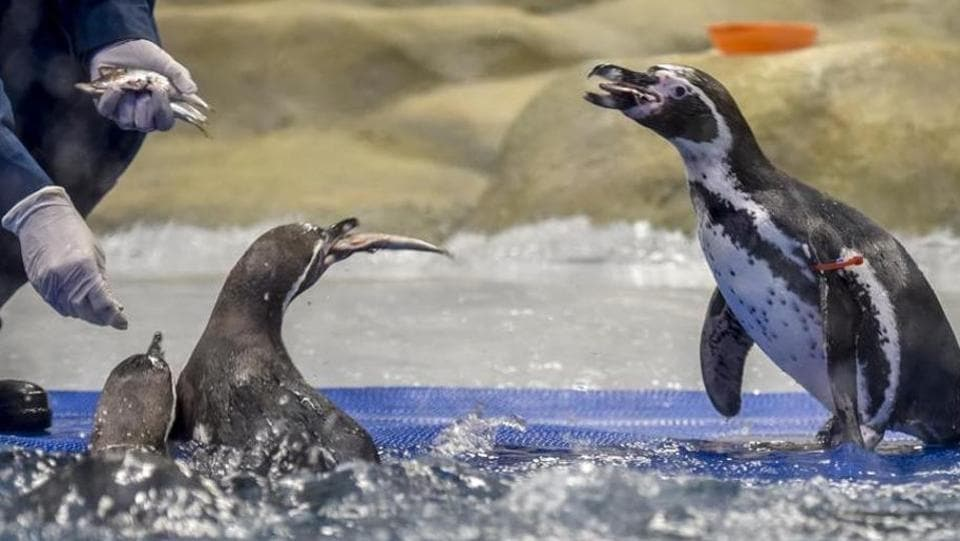 The move comes after the Humboldt penguins started to attract crowds to the zoo