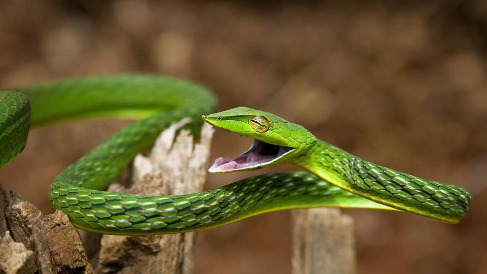 A marvellously bendy green vine snake, texture like a rubber tyre. (Manu Gangadhar)