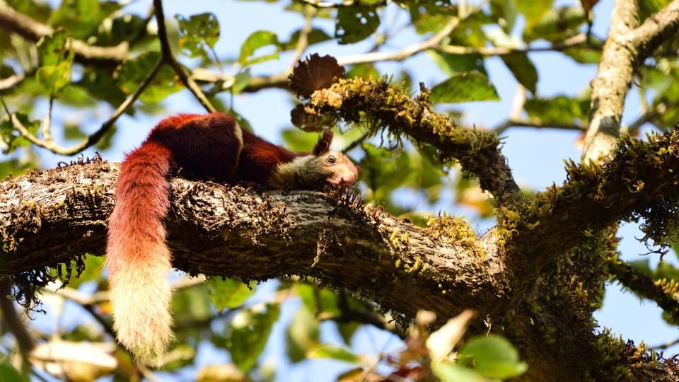This bright-coated fellow is a Malabar giant squirrel. It is among the species endemic to the Western Ghats rainforest, which means they are found nowhere else in the world. (Dhiraj Bhaisare / ARRS)