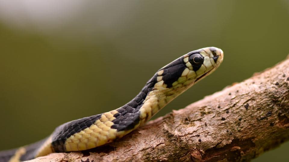 A baby king cobra. The Agumbe valley has India's highest density of king cobras.  (Dhiraj Bhaisare / ARRS)