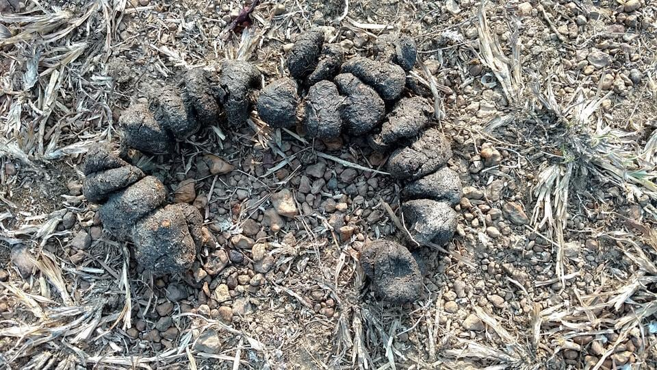 Wild boar scat. Poop is one of the most helpful clues when you're trying to figure out who your neighbours are, and how they live, in the rainforest. (.)