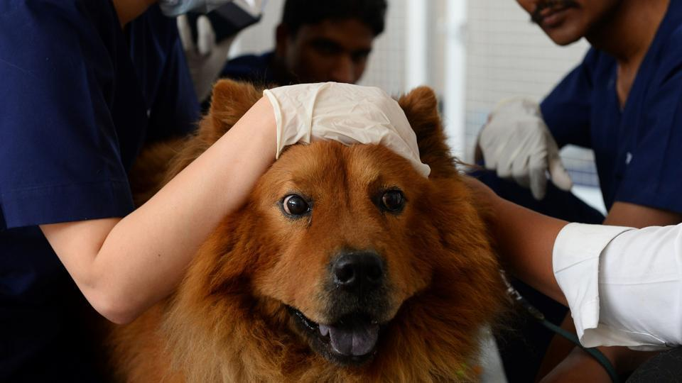 No medical procedure is out of the question for cats and dogs of Delhi's well heeled, be it be acupuncture, blood filtration or even kidney cleansing. With deaths of 171 animals reported at the Delhi zoo, Animal healthcare poses a serious problem for those who fork out big at five-star veterinary clinics to keep their pets healthy.   (Sajjad Hussain/AFP)