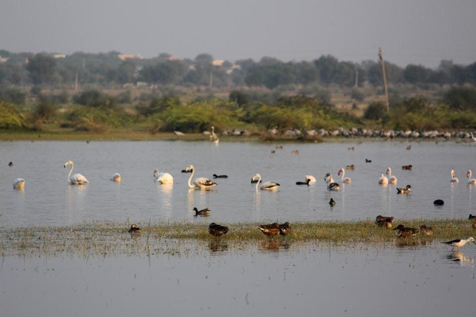 Apart from birds of local species, migratory birds come to the water bodies at Korna village in Barmer district.