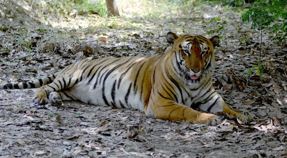 With this MP has lost nine tigers within last two months and 13 this year. Since January 2015, MP lost 54 tigers. This is the second tiger death in Balaghat district this year.