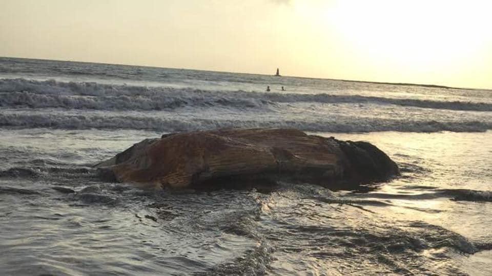 The 16-foot part of the Bryde's whale carcass found at Madh beach.