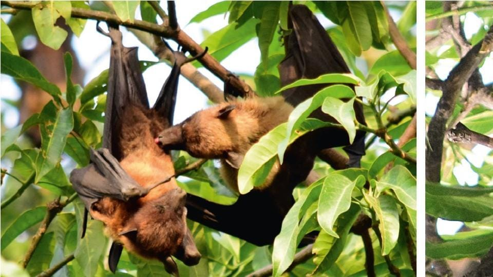 CAPTION: A pair of Indian fruit bats indulge in love making and copulation at a Panjab University park, Chandigarh.