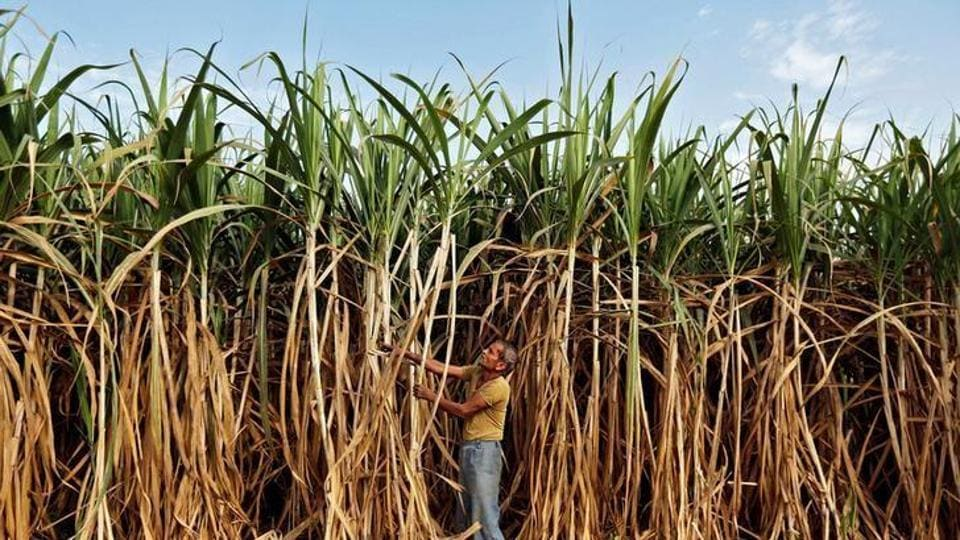 A farmer works in his sugarcane field on the outskirts of Ahmedabad.