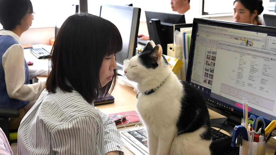 """A Tokyo firm introduced an """"office cat"""" policy in 2000 upon request from one of its employees, allowing staffers to bring their moggies to work."""