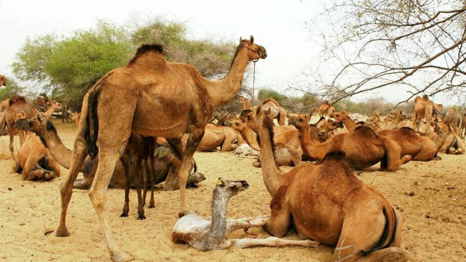 The single hump camel, which is one of the two state animals of Rajasthan, is known to survive in temperatures above 50° Celsius.