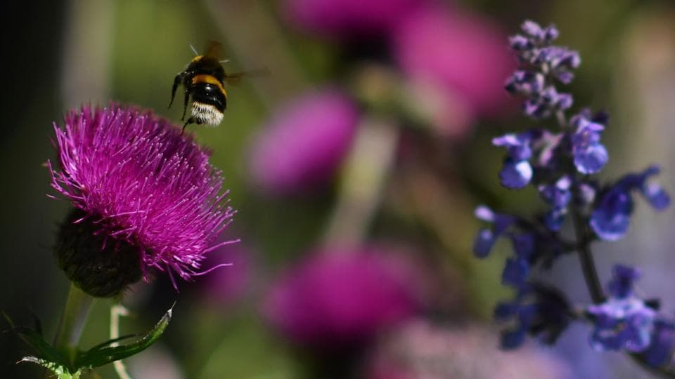 A bee flies from a flower in the 'Morgan Stanley Garden' at the show . (BEN STANSALL / AFP)