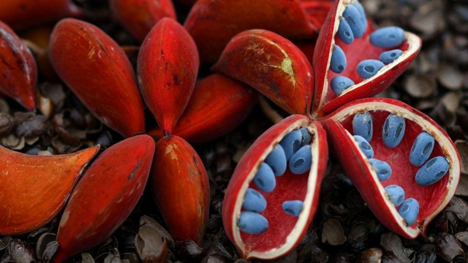 A Sterculia mexicana on display. (BEN STANSALL / AFP)
