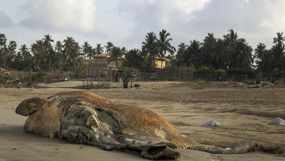 The 16-foot-long part of the Bryde's whale carcass that washed ashore Madh beach on Sunday.