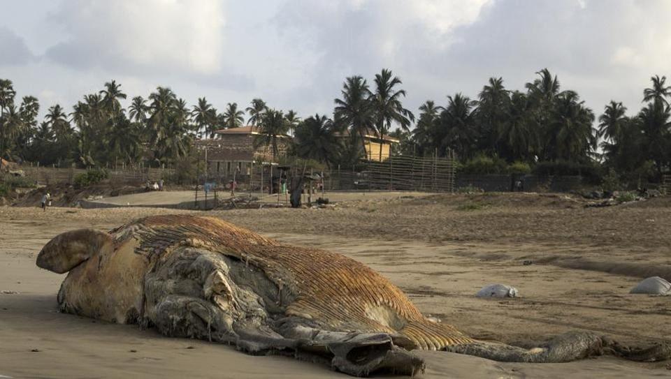 Mumbai city news,Bryde's whale,Madh beach