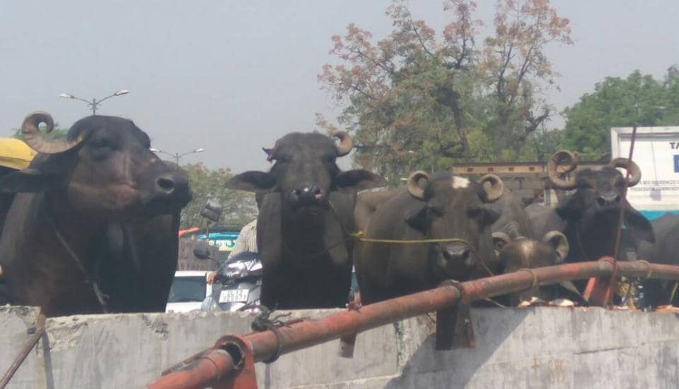The truck carrying about a dozen buffaloes toppled near Hauz Khas metro station in south Delhi. The driver and others in it fled soon after.