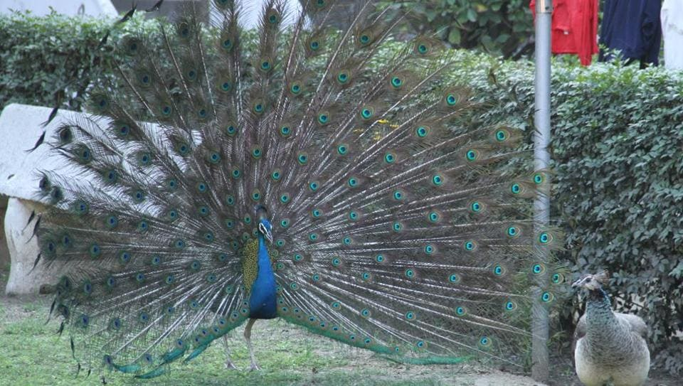 The four dead peacocks were recovered by the doctors of the Jain Bird Hospital, a charitable institution in Jacobpura, from Jharsa, Ghata, Manesar and Dhankot area.