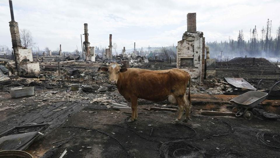 A cow stands amidst the debris of burnt houses after recent wildfires in the Siberian settlement of Strelka, located on the bank of the Angara River in Krasnoyarsk region, Russia. (Ilya Naymushin  / Reuters)