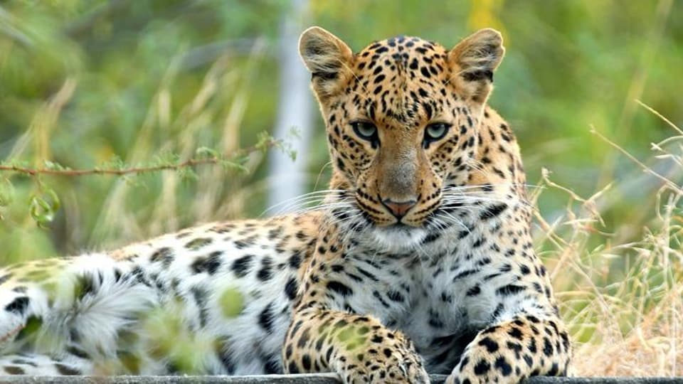 Mumbai city news,Leopard attack,Aarey Colony