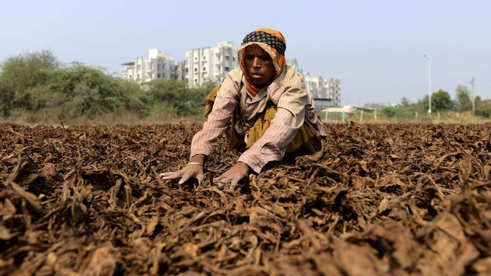 A farmer dries tobacco leaves at a farm on the outskirts of Sanand, near Ahmedabad