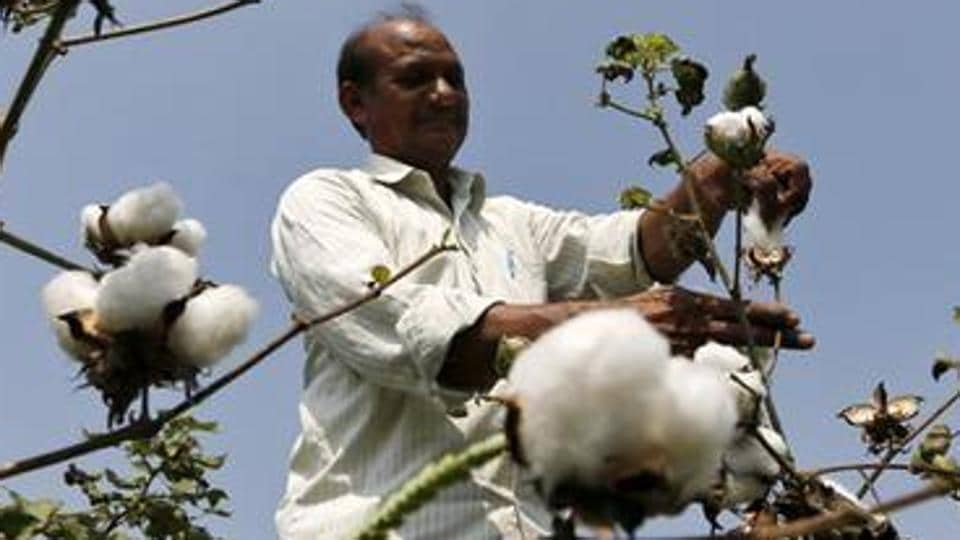 A farmer working at a cotton field.