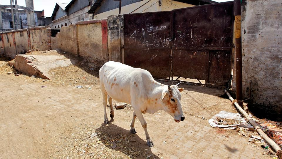 A cow walks past a closed slaughterhouse in Allahabad.