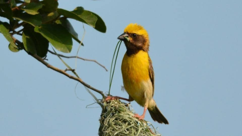 This was the first time that data was collated by BNHS for the Baya Weaver's conservation.