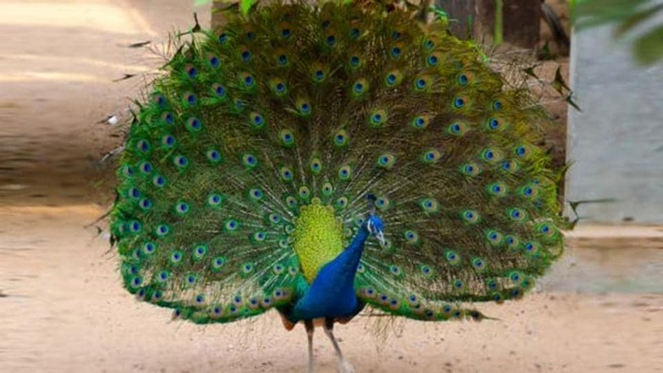 Both the peacock and peahen have the avian reproductive organ known as a cloaca, which transfers sperm in between partners.
