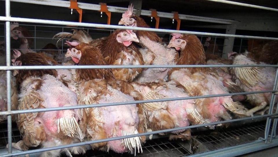 Bird Flu,Avian Influenza,Mizoram