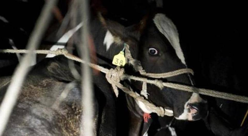 Cow,national animal,cow slaughter