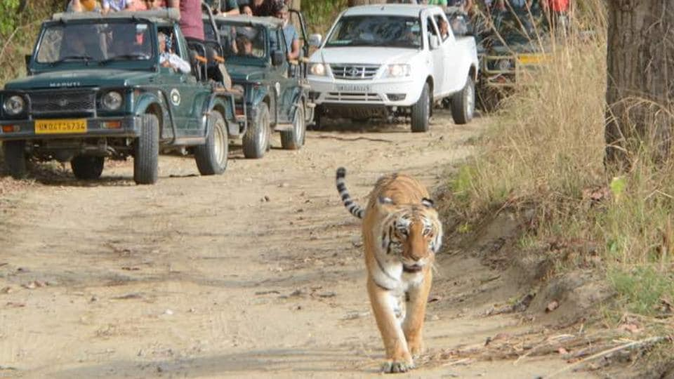 Uttarakhand News,Rajaji Tiger Reserve,Tiger