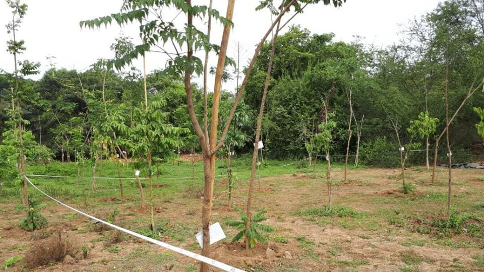 The trees that were planted at Aarey Colony.
