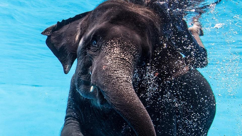 The recent addition to the zoo is  the elephant  under water show at the Khao Kheow Open Zoo. (Roberto SCHMIDT / AFP)