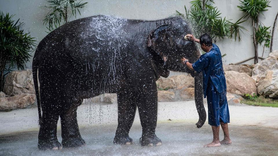 A mahout cleans Saen Dao, an eight-year-old female asian elephant, before the show. (Roberto SCHMIDT / AFP)