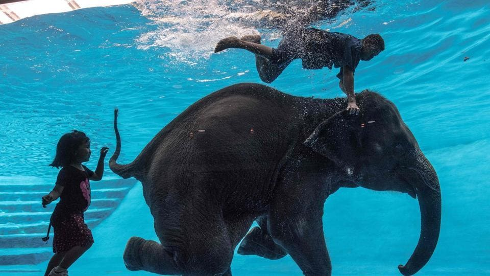 A girl watches as Saen Dao, an eight-year-old female asian elephant, and her mahout perform underwater during a show at the Khao Kheow Open Zoo in Chonburi south of Bangkok . With 8,000 animals of more than 300 species, Khao Kheow  Zoo covers an  area of 5,000 rai in Khao Kheow - Khao Chompu Wildlife Sanctuary , the biggest tiger center in Asia Pacific region. (Roberto SCHMIDT / AFP)