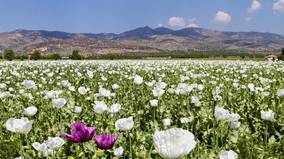 poppy farming