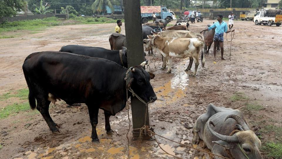 At the Aralummoodu Whole Sale Market Neyyattinkara, Thiruvananthapuram.  Weekly cattle markets that are held across the country are main source of animals for meat traders.